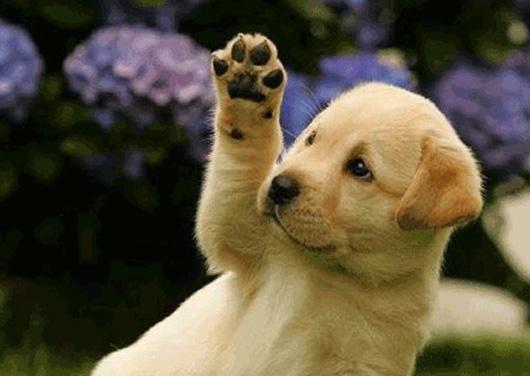 cachorro-saludando