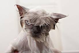 gato-mala-leche-mojado