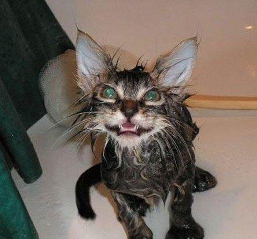 gatos-mojadossds