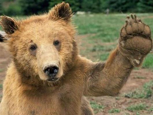 oso-saludando