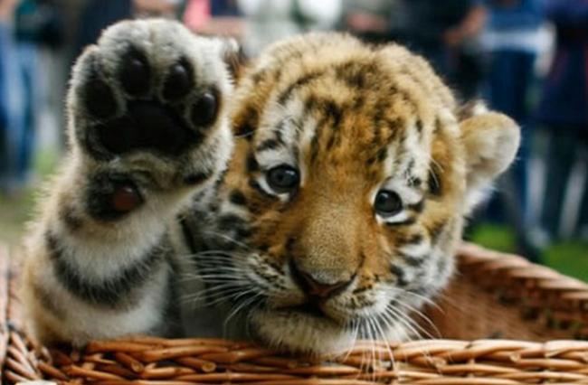 tigre-cachorro-que-saluda