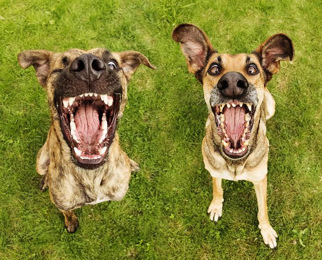 perros-ensenando-dientes