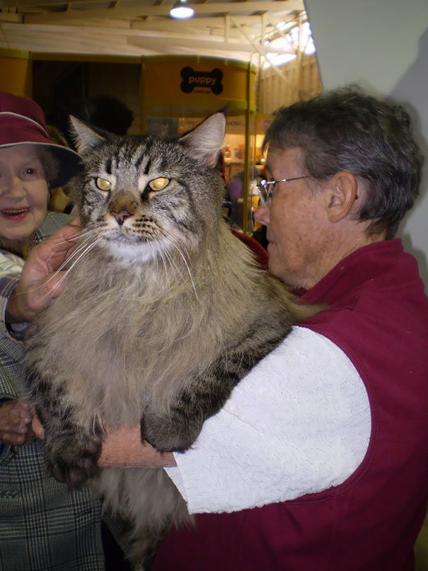 gatos-mas-grandes-del-mundo-6