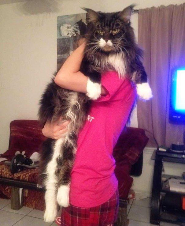 los-gatos-mas-enormes-del-mundo