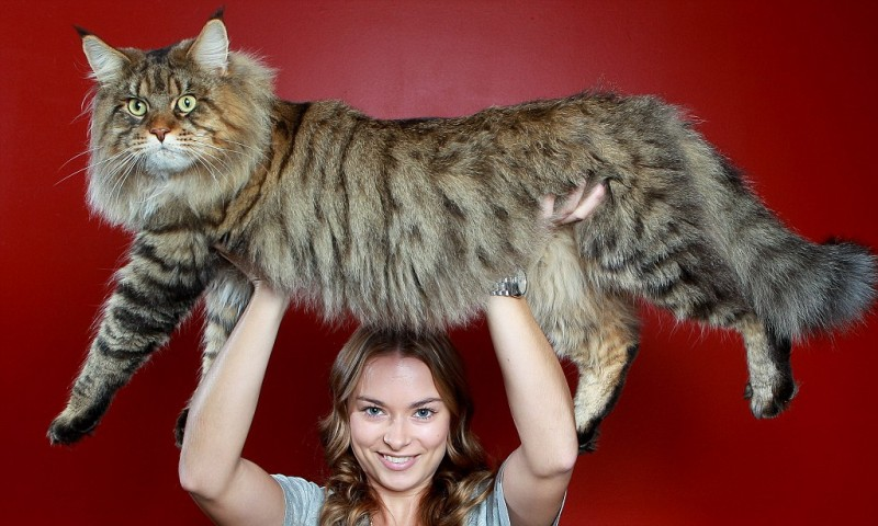 Mandatory Credit: Photo by Chris Scott/Newspix / Rex Features (1733063a) Natalie Chettle gives her mum's moggy Rupert a boost Rupert the monster moggy in Melbourne, Australia - 06 Jun 2012 The giant breed Maine coon cat is only half-grown at the age of two years and 11 months, weighing 9kg. Already three times bigger than the average domestic cat, Rupert is expected to gain another 5kg in the next few years. A three-time Cat of the Year and Australian National Champion, the cat, who is shown and judged as Jack-Be-Nimble, is the biggest Maine coon that renowned international cat judge Lesley Morgan Blythe has seen. Owner Kyra Foster told Australia