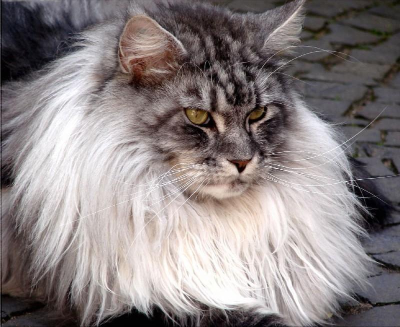 los-gatos-mas-grandes-del-mundo-2