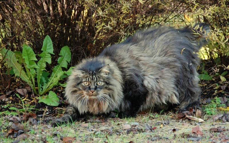 los-gatos-mas-grandes-del-mundo-4