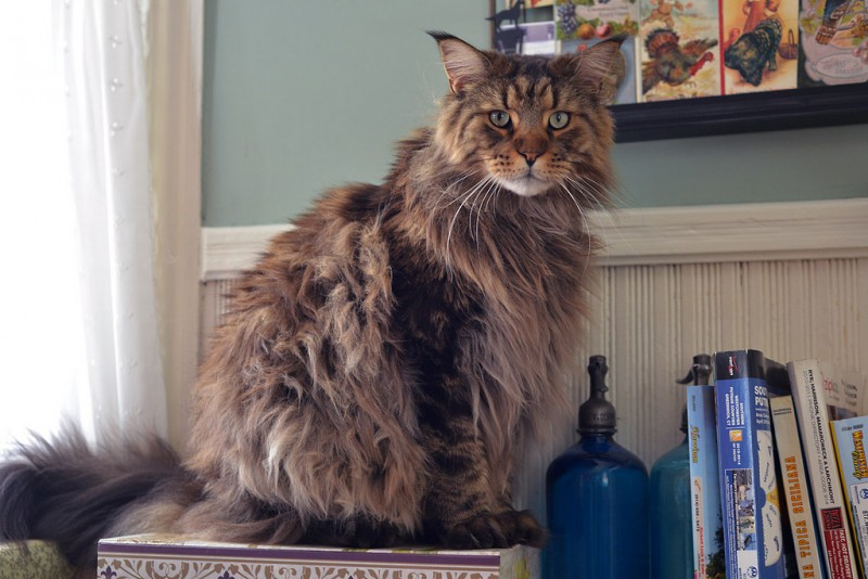 los-gatos-mas-grandes-del-mundo-5