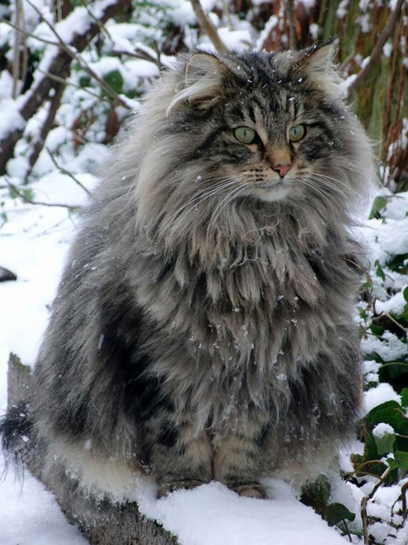los-gatos-mas-grandes-del-mundo-6