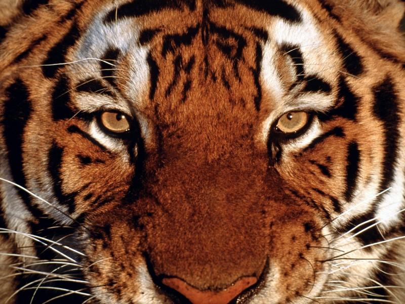 02-fondos-de-tigres