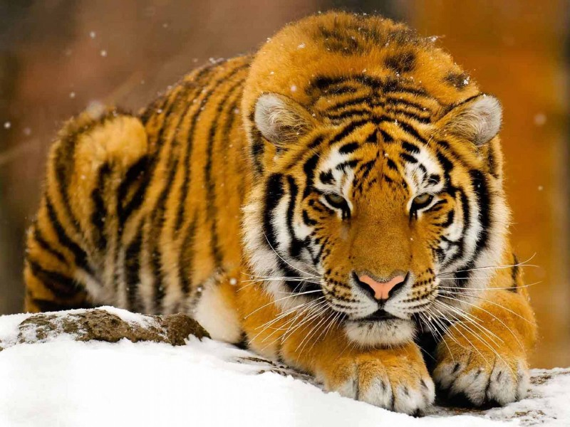 04-tigres-fotos