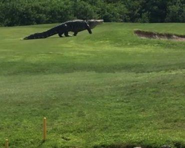cocodrilo-gigante-campo-de-golf